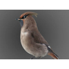 bohemiam waxwing